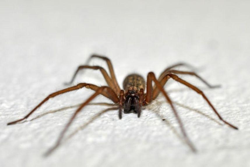 Śmiertelny pająk w Chile - arana-de-rincon