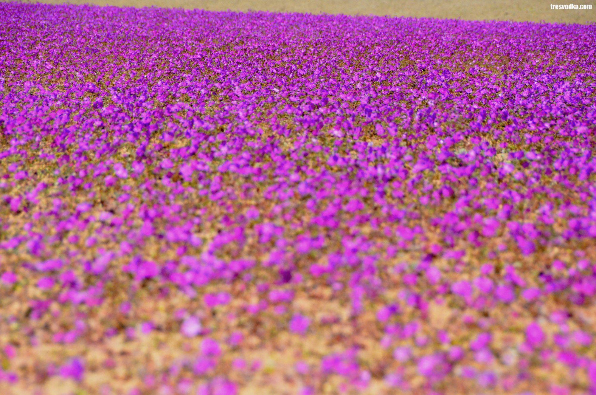 Fenomen Desierto Florido, Chile [GALERIA]